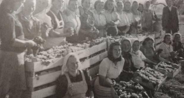 Riznica sjećanja Andrije Boškovića: Berbe grožđa u kutjevačkom vinogorju