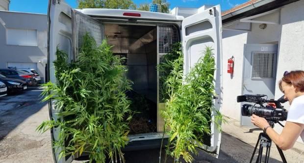 Policija u susjednom gradu zaplijenila čak 91 stabljiku marihuane