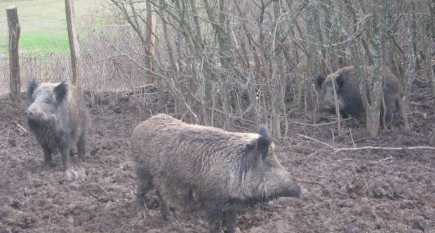 Zbog svinjske kuge cijena mesa je već skočila