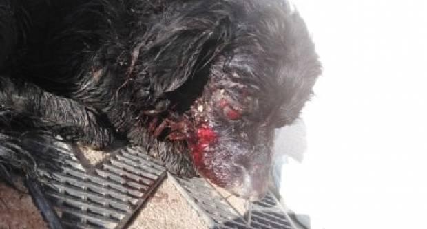 Netko je u Kuli pucao ili bacio petardu na psa koji je ostao bez oka...