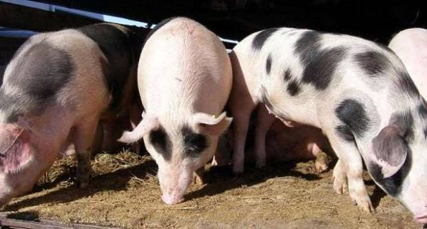U Slavoniji 2500 svinja viška: Da bi izbjegli eutanaziju – poklanjat će ih
