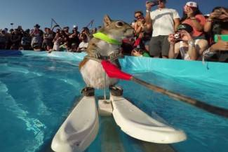 Ova vjeverica jednostavno voli skijanje na vodi - i to radi sa stilom (video)