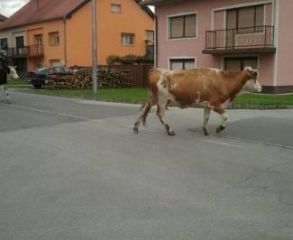 Na raskrižju izletjela krava i zabila mu se u auto