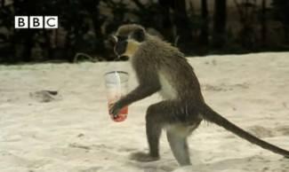 Pravi alkosi: Majmuni na Karibima kradu koktele i opijaju se