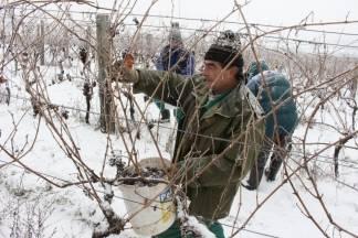 Ledena berba na -12 za slatke kapljice: ¨Traminac je u odličnoj kondiciji, bit će to vrhunsko vino¨