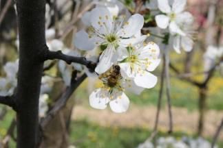 ¨Mraz je nepogoda, no tople zime su katastrofa za voćke. Cvjetaju, ali su sterilne i nema ploda¨