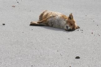 Lisica se raspada danima, a nitko ne reagira: ¨Neka zovu tvrtku za izuzimanje lešina¨