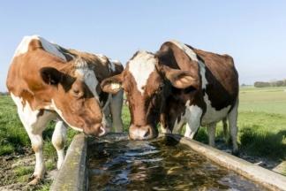 Goveda ljeti trebaju i do 150 litara vode dnevno!