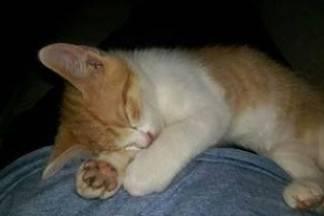 Odlutao narančasto bijeli mačak