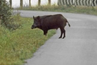 Divlje svinje najčešće uništavaju usjeve poljoprivrednicima