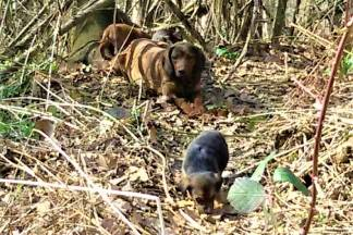 Kraj ceste u Vrhovcima odbačeni umiljati psi pasmine ¨Jazavčar¨ traže udomitelje