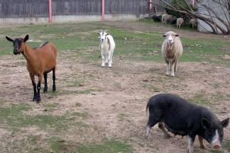 50-godišnjaku iz Tisovca ukrali domaće životinje