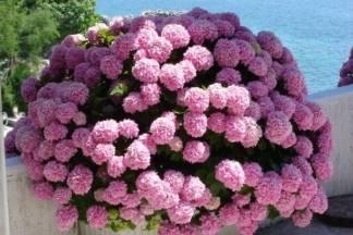 Hortenzija - zanosna kraljica svakog vrta