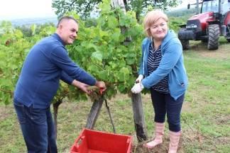 Započela berba grožđa u vinogradu Poljoprivredne škole iz Požege