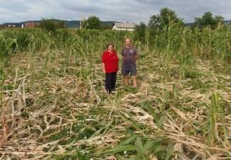 Divlje svinje im uništile kukuruz samo 10 m od ceste