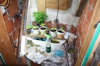 40- godišnjak s područja Pleternice uzgajao marihuanu - policija mu pretresla kuću i ostala šokirana