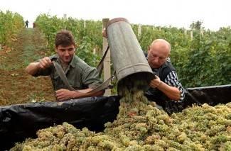Cijena grožđa 2,80 kn, interventnog otkupa neće biti