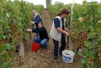 Vinogradari počeli s berbom, cijena otkupa još uvijek nepoznata