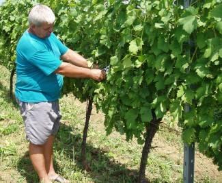 Obećavajuća godina za vinogradare i vinare