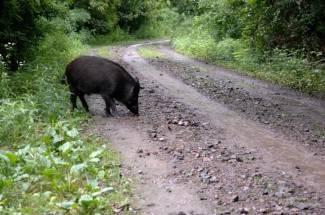 Pustio svinje bez nadzora na cestu