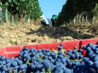 Novak: Zadovoljni smo jer grožđe nije propalo