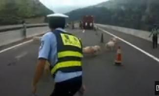 Policija u akciji: Potjera za svinjama na autocesti (video)