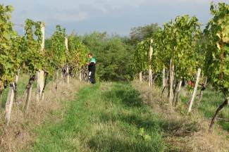 Vinogradari pokušavaju spasiti ovogodišnju berbu