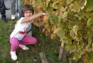 Kutjevo: Berba vinograda na Trgu graševine