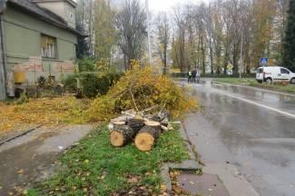 Srušene breze da bi bili posađeni javori