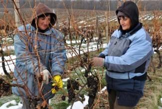 Kutjevo: Izborna berba prosušenih bobica graševine