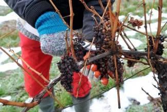 Otkupna cijena grožđa kao lani, urod puno slabiji