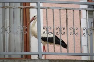 Rodan im šeće po balkonu i kuca na ulazna vrata (video)