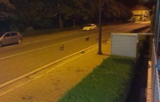 Skupina pasa lutalica u noćnoj šetnji: Gdje su vlasnici?