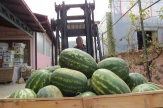 Cijena lubenica nikad niža, kvaliteta dobra, a potražnja loša