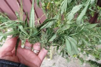 U Pleternici zaplijenjen ilegalni duhan, u Brestovcu marihuana