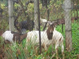 Vaše fotografije: Koze zalutale na brdo iznad Koydlove ulice