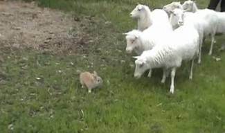 Švedski zeko Champis goni ovce bolje od psa (video)