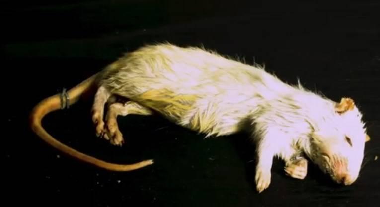 Slavonka bacala uginulog štakora na susjedu, te joj psovala, kažnjena je