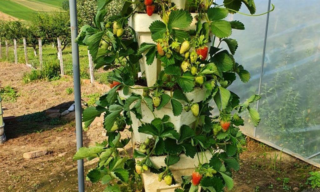 OPG BRINJAK :Umjesto u širinu, jagode sadimo u visinu!