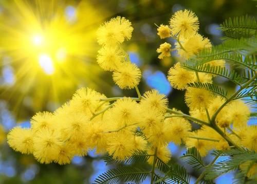 Obilježava se Dan mimoza – Nacionalni dan borbe protiv raka vrata maternice
