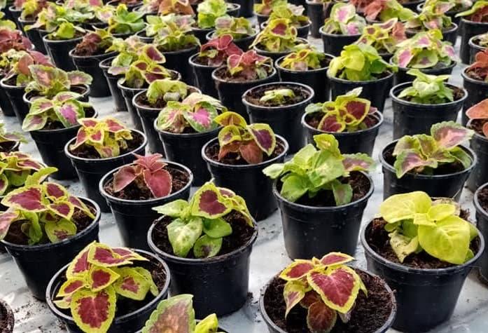 Plastenik požeške Poljoprivredne škole pun sadnica cvijeća