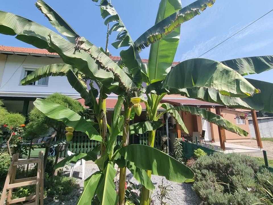 VJEROVALI ILI NE: Plod banane u Sl. Brodu