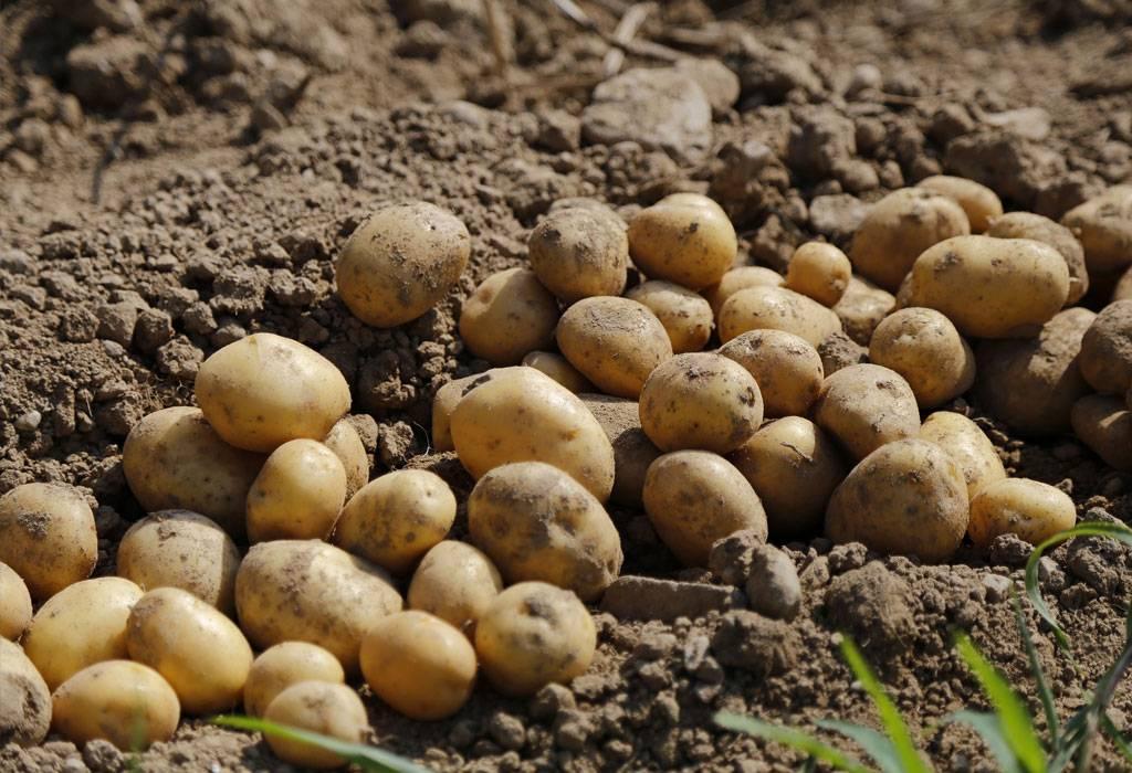 Vrtoglavo visoke cijene krumpira: ʺOnaj tko ga ima na skladištu, može očekivati dobru zaraduʺ
