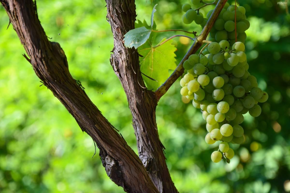 FOTKA DANA: Diljem Požeštine počele berbe grožđa