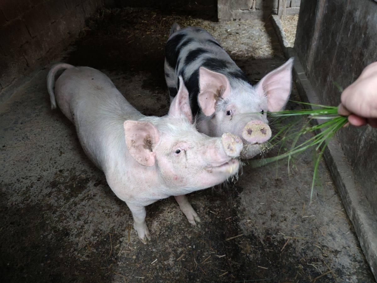 Što će biti s hrvatskim svinjogojstvom ako se zabrani kastracija?