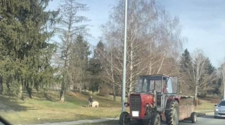 FOTKA DANA: Odbjegla svinja slobodno trčala po Požegi