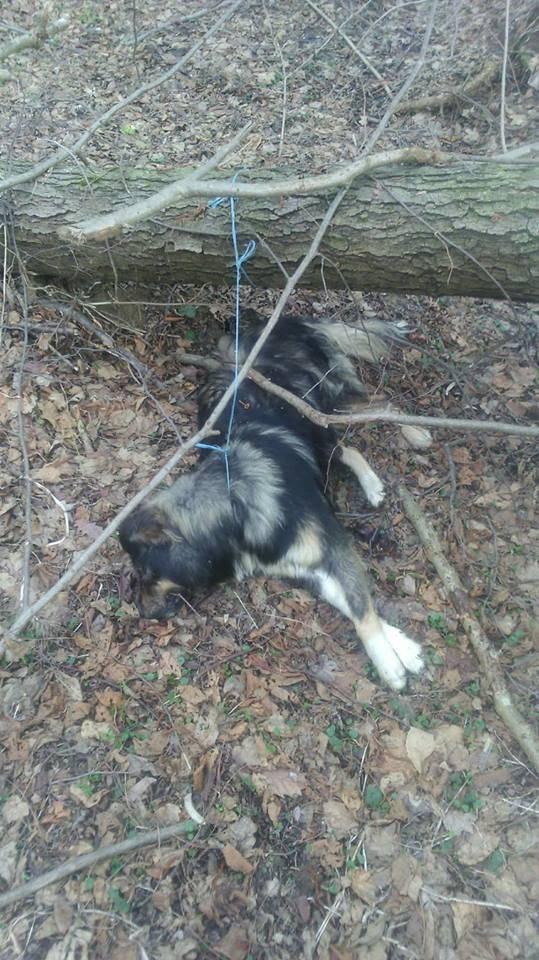 Zavezali pse za stablo i ubili ih