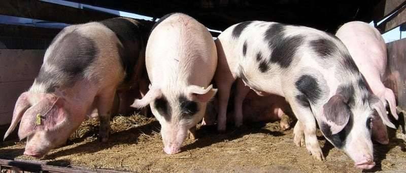 Istok Hrvatske pozitivan na virus epidemijskog proljeva svinja