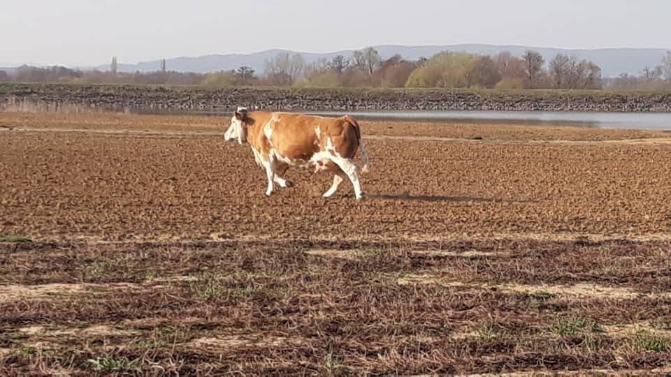 NEOBIČAN PRIZOR: Kod Ovčara odbjegla krava- traži li ju tko!?