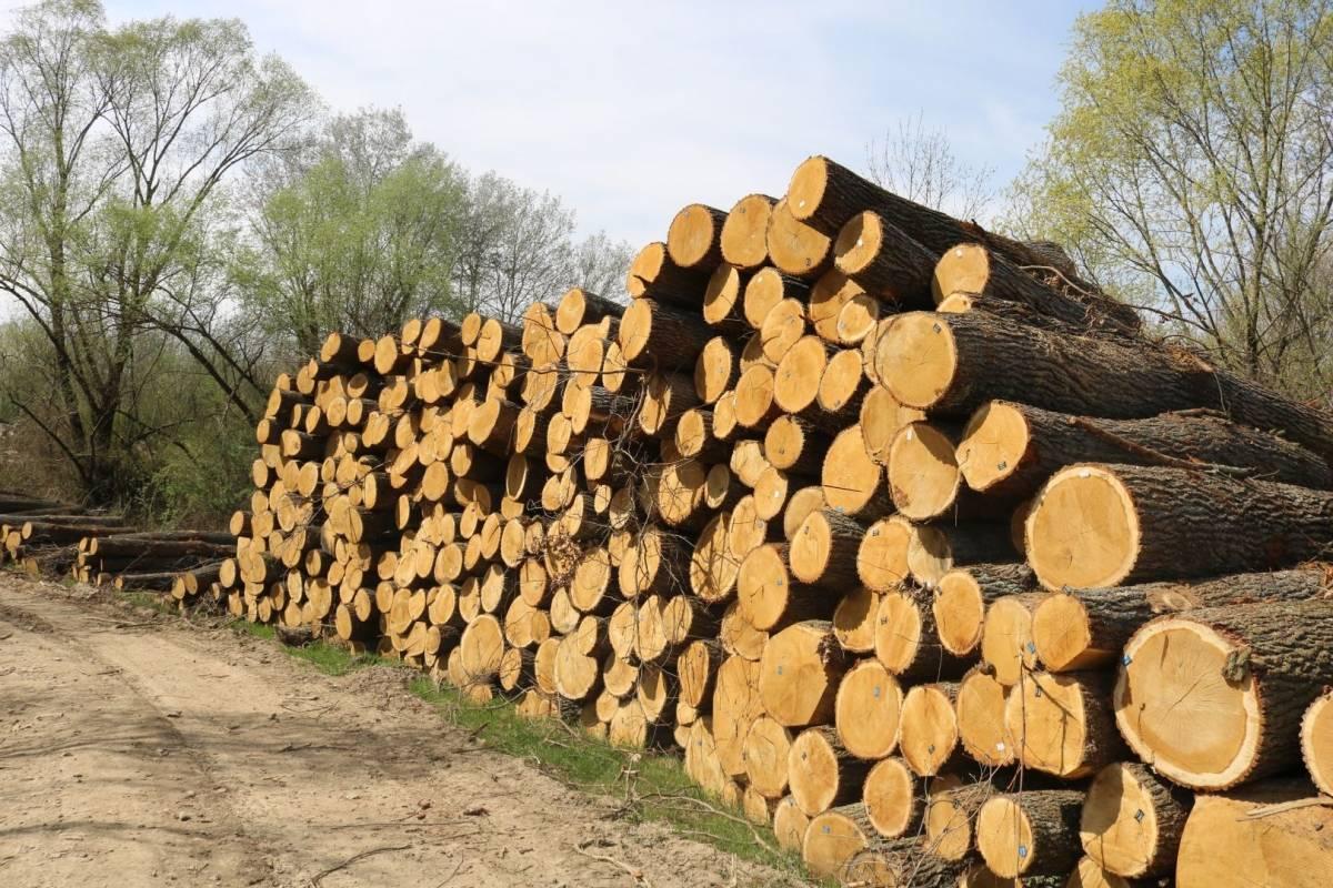 Hrvatske šume ʺkulturnoʺ kod Trapara porušili 150-to godišnje hrastove